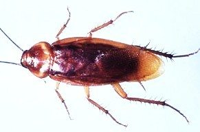 american roach1