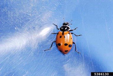 Lady Beetle by: Joseph Berger, Bugwood.org