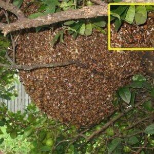 Bee Removal Phoenix Mesa AZ