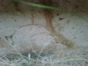 Termite Mud Tube on Foundation