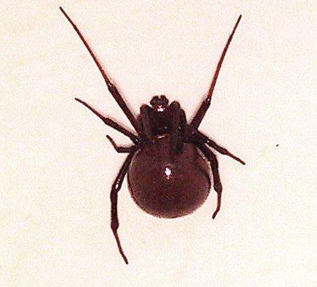 Black Widow Spider Phoenix AZ