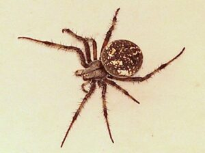 Spider: Neoscona oaxacensis - Western Spotted Orb Weaver