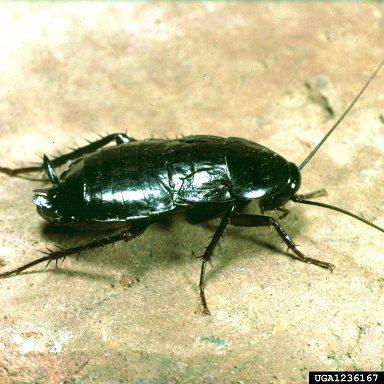 jh Oriental roach buwood.org