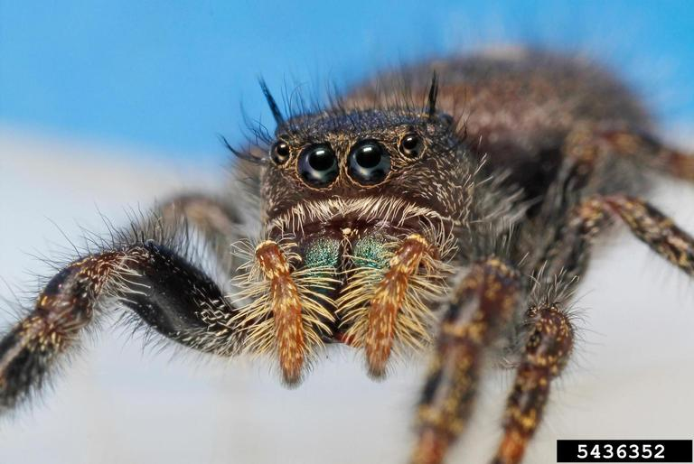 Jumping Spider - Joseph Berger, Bugwood.org