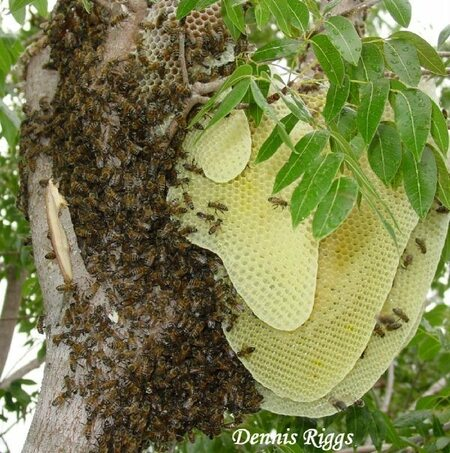 Large bee hive in tree.