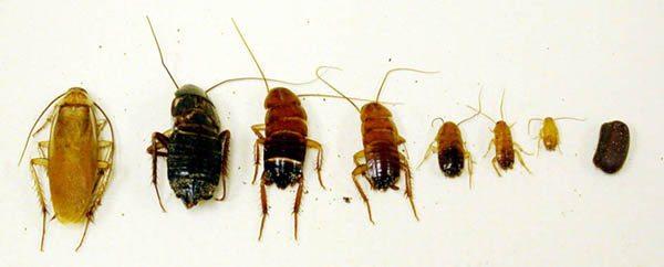 Turkestan Cockroaches