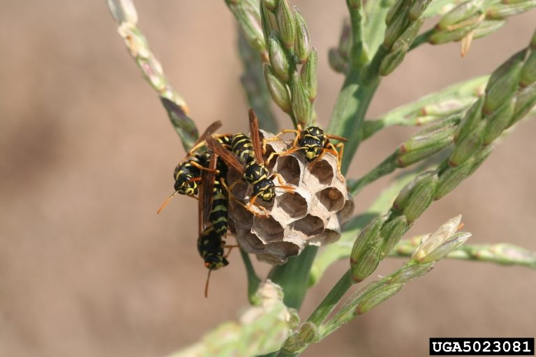 Paper Wasp - Whitney Cranshaw, Colorado State University, Bugwood.org