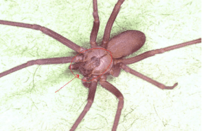 Brown Recluse Spider: CDC
