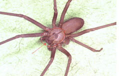 Brown Recluse with Violin Mark