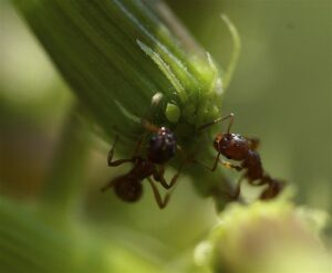 Fire Ants and Aphids by Kevin Prichard Photography