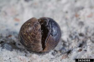 Pill Bug Joseph Berger, Bugwood.org