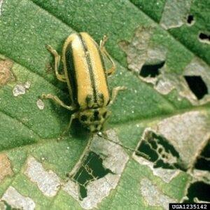 Elm Leaf Beelt Adult AZ