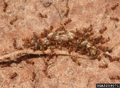 Southern Fire Ants Whitney Cranshaw, Colorado State University, Bugwood.org