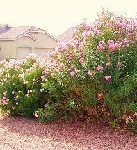 Tip: Remove Oleander Bushes for Tick Control