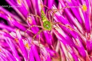 Green Lynx Spider Phoenix AZ Pest Control