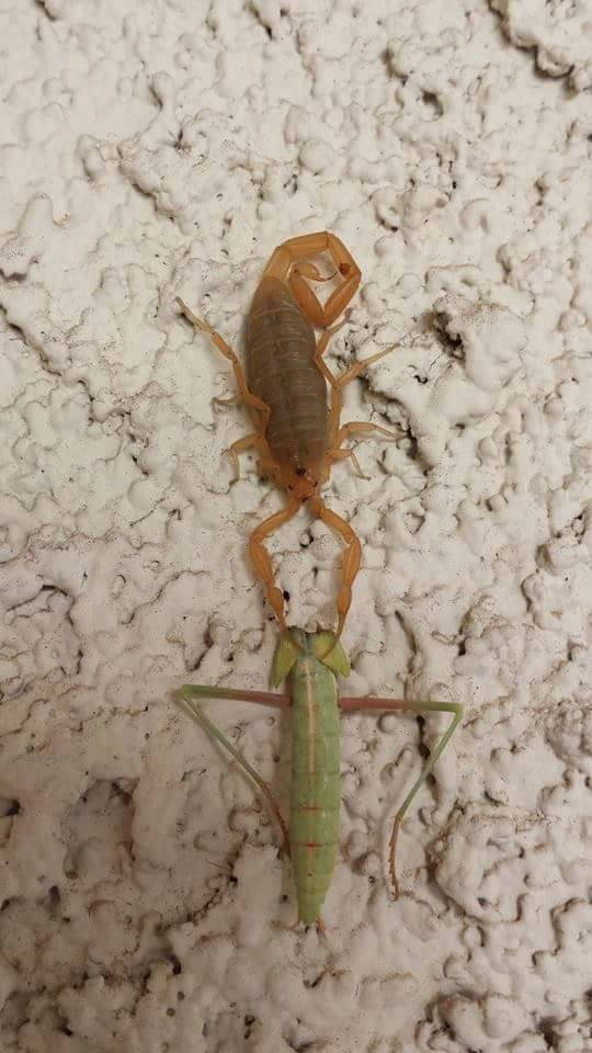 AZ Scorpion Prey