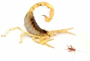scorpion hunting cricket