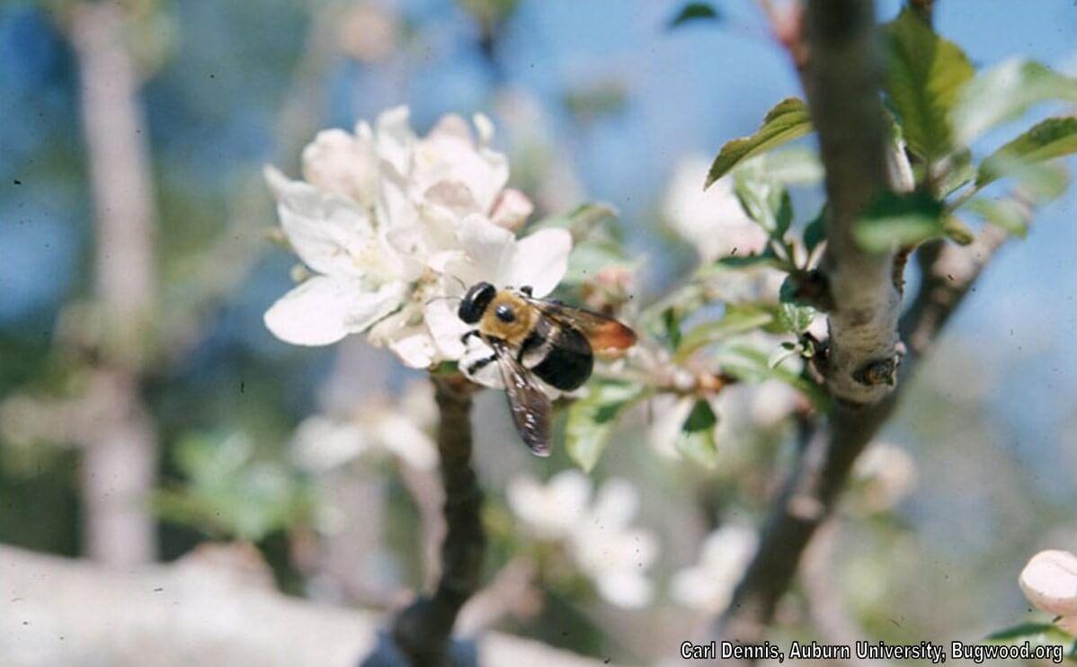 Carpenter Bee bugwood