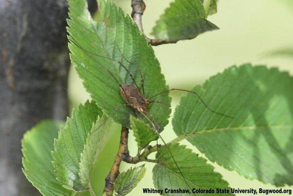 Harvestmen Spider