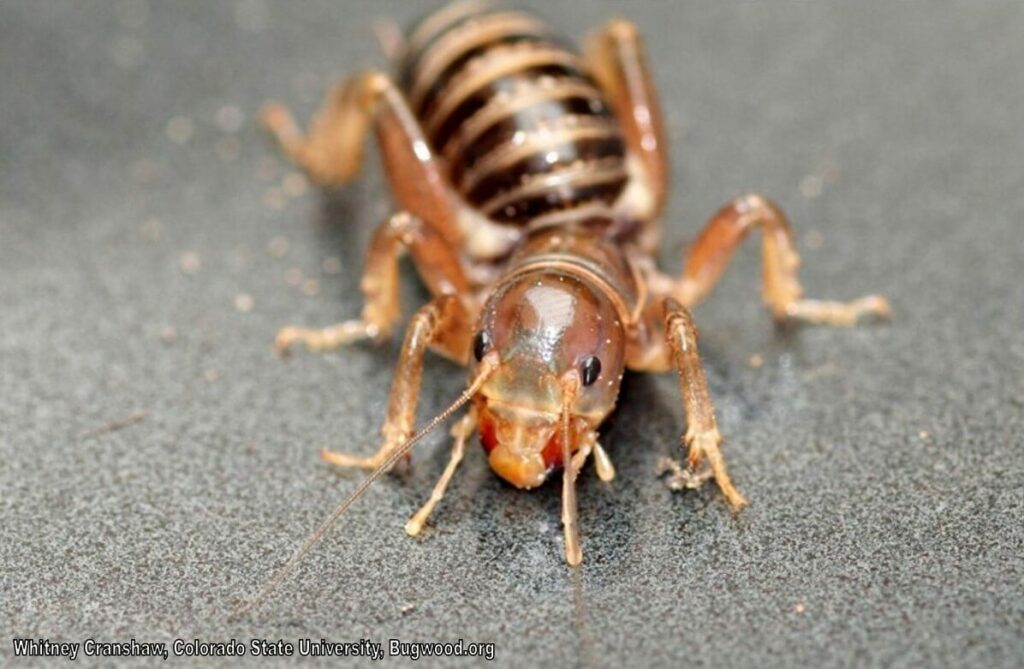 Jerusalem Cricket Bugwood