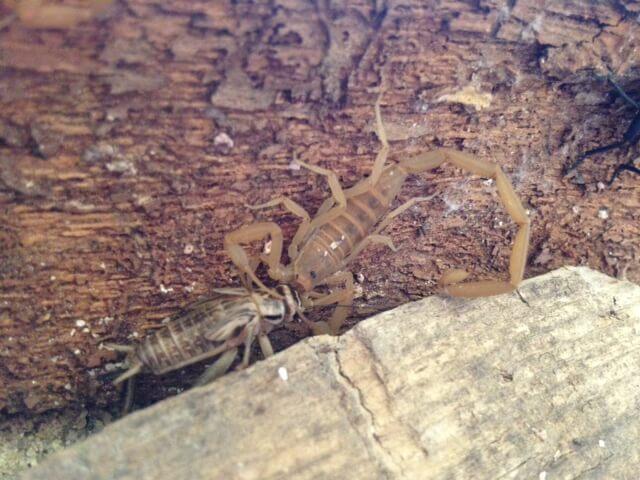 scorpion eating cricket