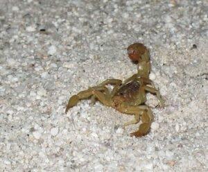 Scorpion FACTS - Responsible Pest & Scorpion Control Phoenix