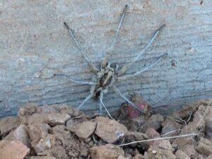 Wolf Spider Phoenix AZ