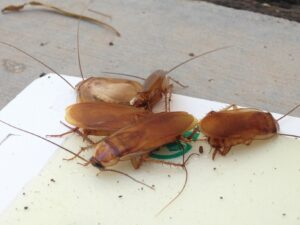 Turkestan Roaches on Sticky Trap
