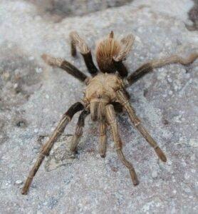 Phoenix Tarantula