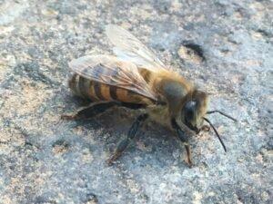 AZ Honey Bee Pest Control