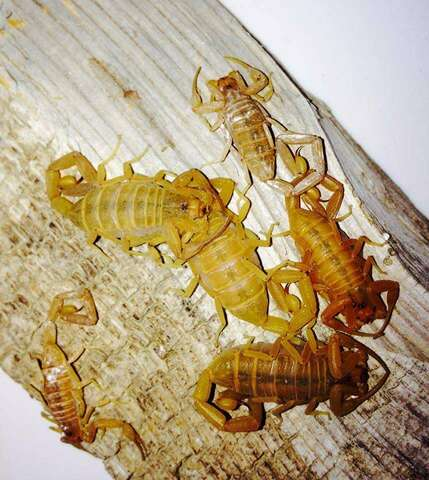 A nest of bark scorpions.