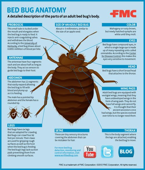 Bedbug Id And Common Misidentifications Bedbugs