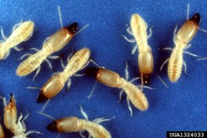 Subterranean Termites - USDA ARS Photo Unit, USDA Agricultural Research Service, Bugwood.org